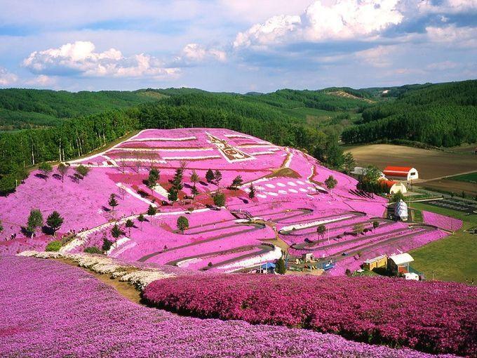 травяная сакура, япония