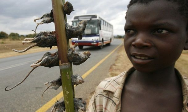 варенные крысы из малави