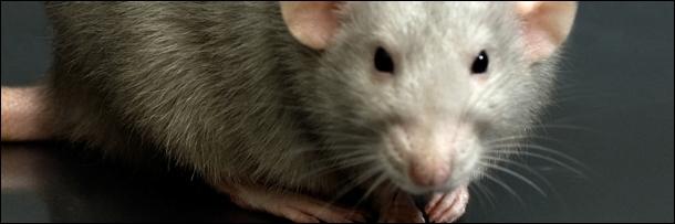 крысы кровожадны